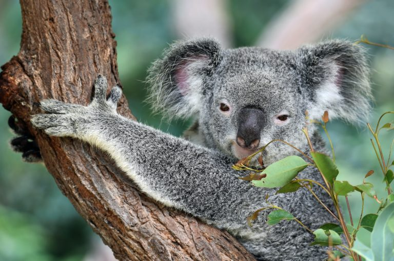 A lovely Koala on a tree. Credit: David Clode on Unsplash