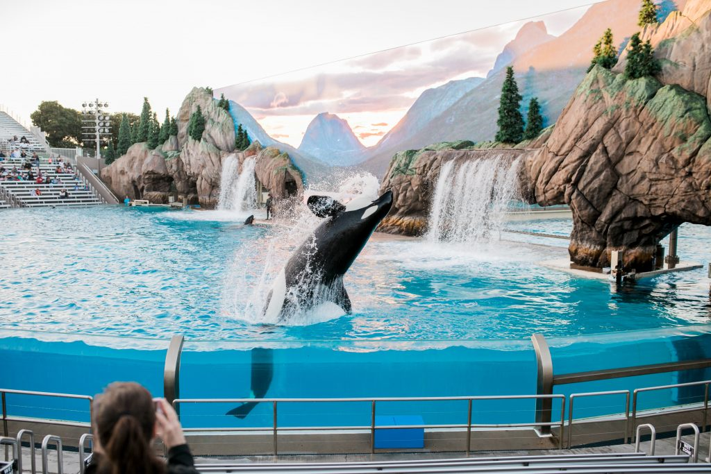 A killer whale performs at a show. Credit: Neonbrand on Unsplash.