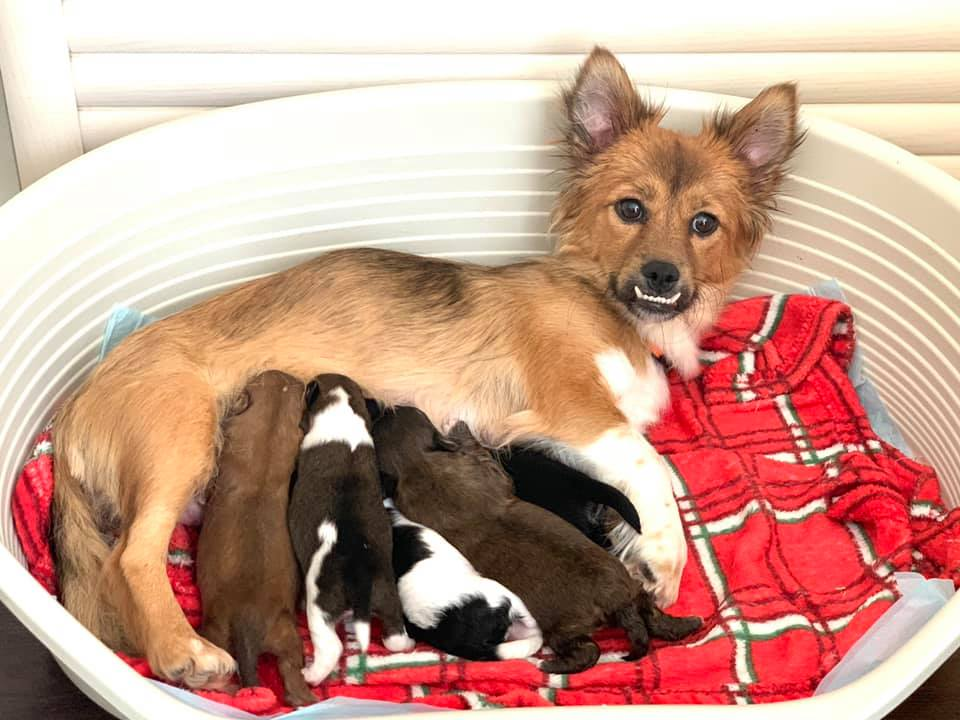 Rescue dog Honey and her litter of puppies. Credit Catherine's Puppies